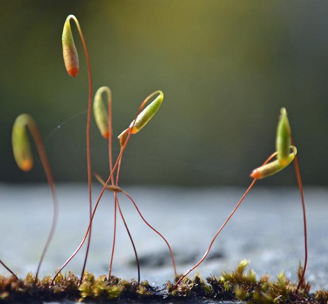Moss sporangia
