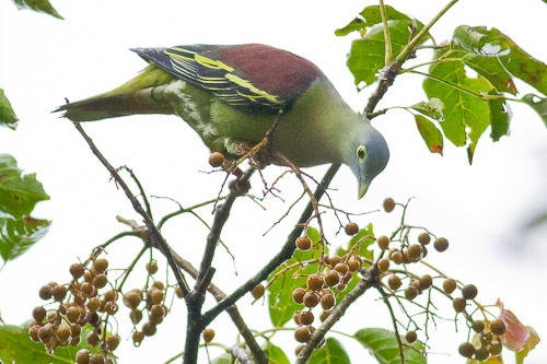 Grey-cheeked Green-Pigeon