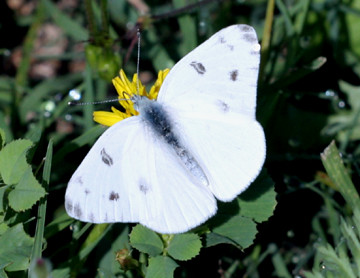 Pontia protodice - Checkered White