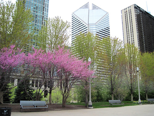 Redbuds in Millennium Park, Chicago