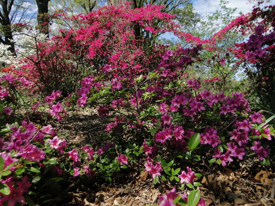 6-77-21apr12_3646_Botanical_garden_azalia