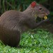 Small photo of Agouti
