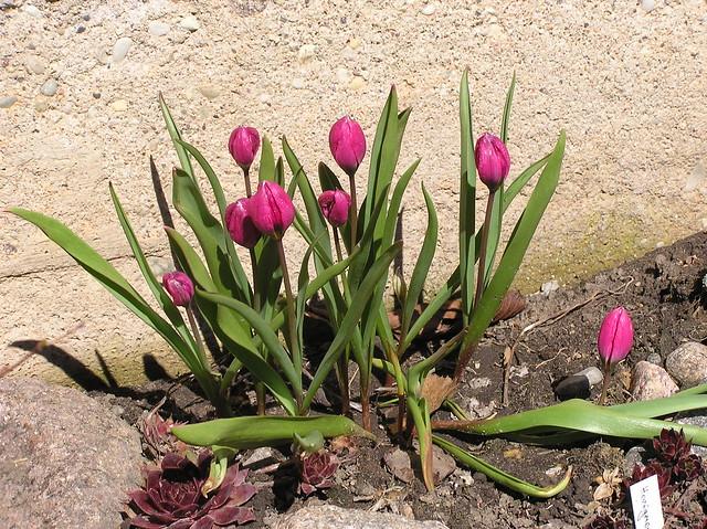Tulipa pulchella violacea