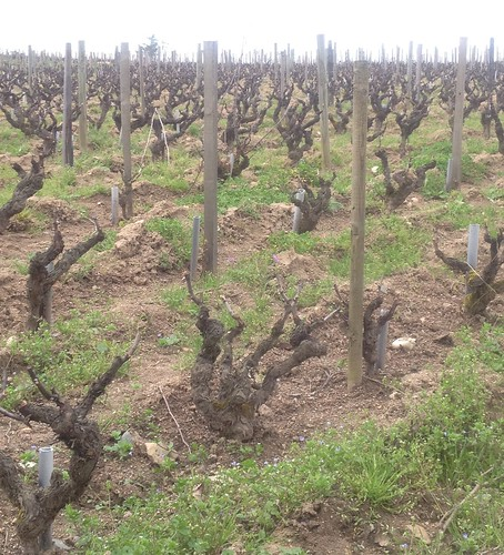 Gamay Vines at Lapierre