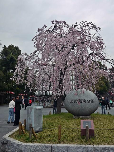 Ueno Sakura 2014