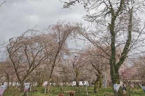 【写真】2014 桜 : 平野神社/2020-06-29/IMGP5571
