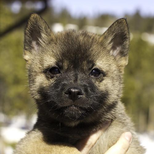 Nami-Litter1-Day54-Puppy2-Male(Nazo)-1
