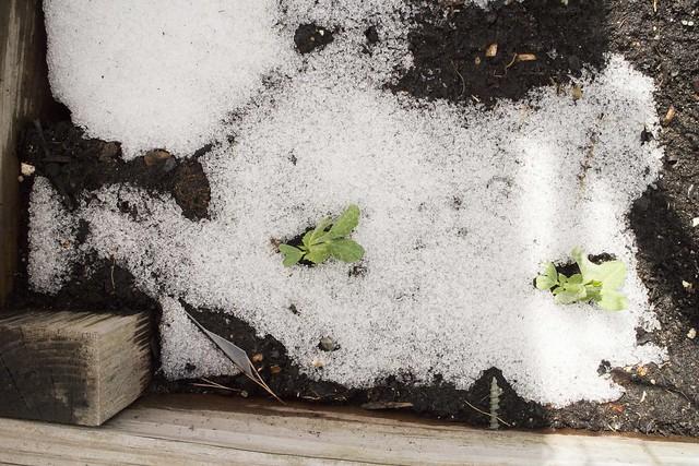 Kale, Sleet Snow Storm April 2014