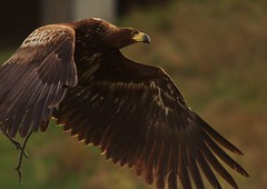 The Sea Eagle, Mara, fully focused in flight, Falkirk Wheel...