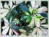 Schefflera arboricola 'Janine' (Janine Schefflera, Dwarf Umbrella Tree, Hawaiian Elf Schefflera)