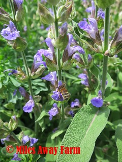 Sage Bloom with bee