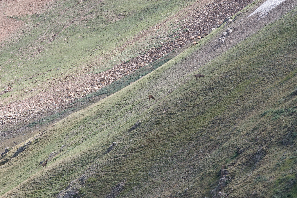 alpine critters