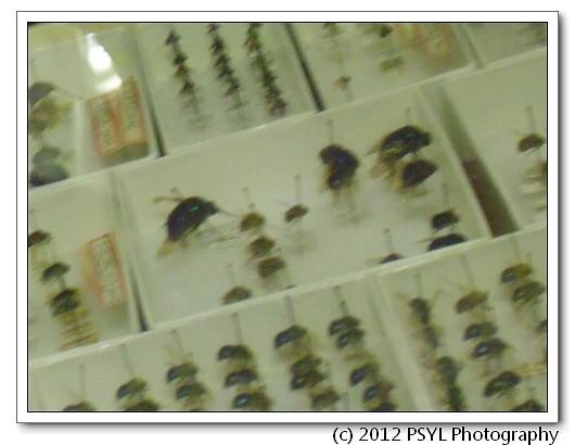 2012-02-21-Nemestrinidae