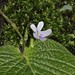Small photo of Streptocarpus polyanthus (Gesneriaceae)