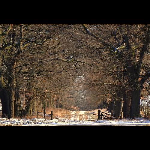 oaks...