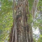 Figuier étrangleur sur un Sralao (Angkor)