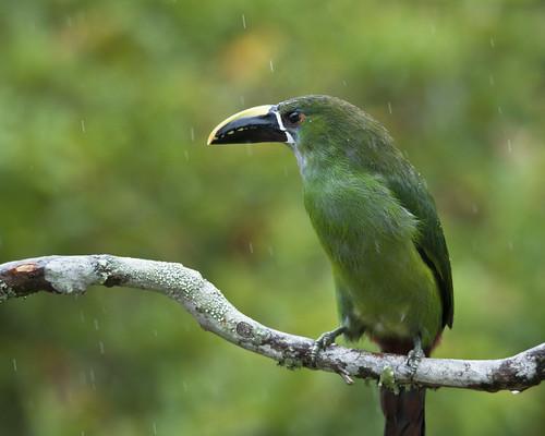 Aulacorhynchus prasinus albivitta (Emerald Toucanet)