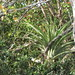 Small photo of Giant Airplant