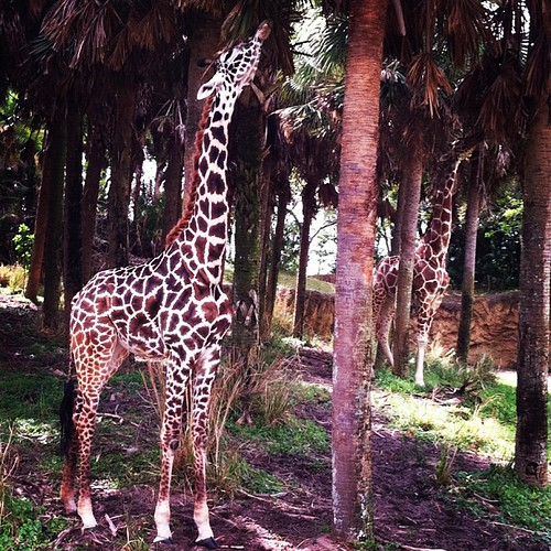Giraffes are so darn cute. #disney