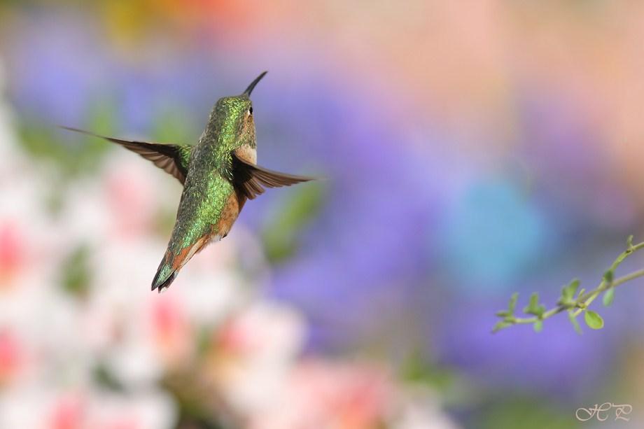 Allen's Hummingbird 031312-4