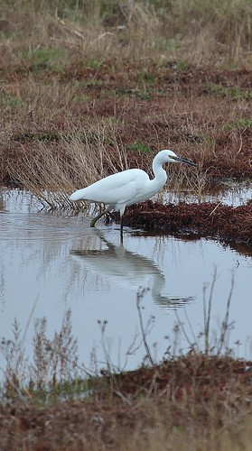 Little Egret Pegwell Bay by Kinzler Pegwell