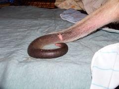 Ori Tamandua tail