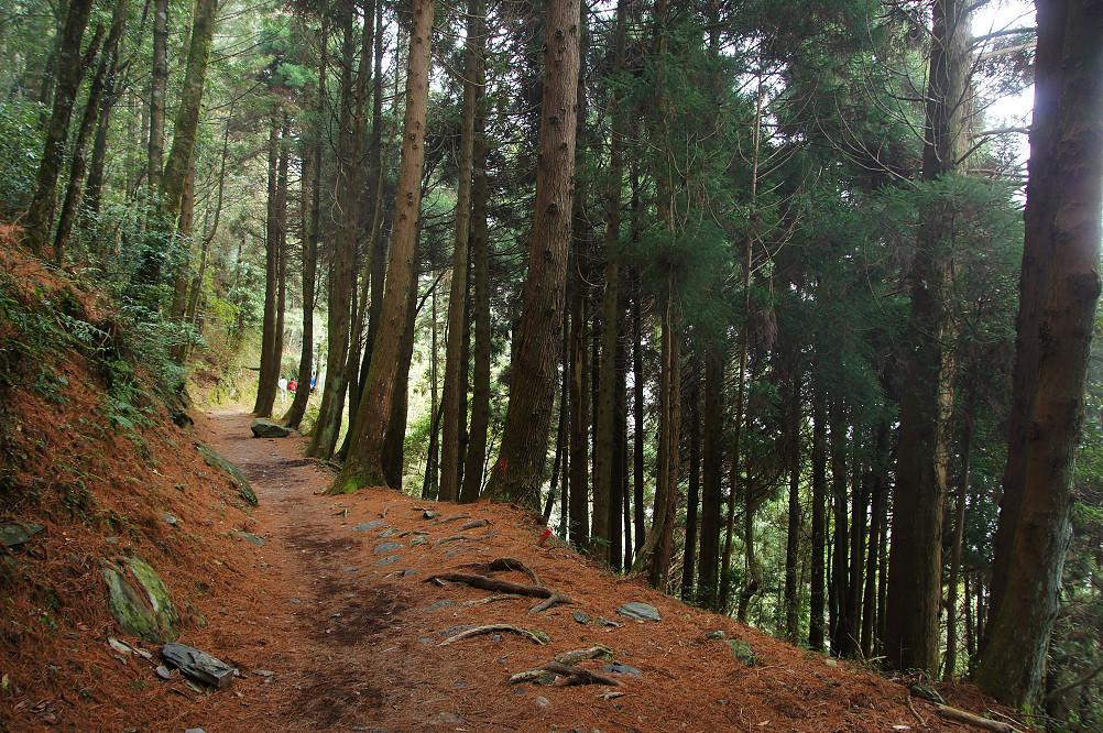 觀霧巨木步道-030