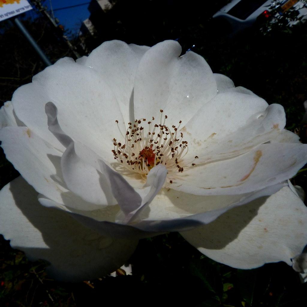 11-02-2012-white-rose