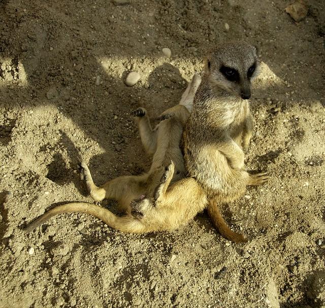 Slender Tailed Meerkat WLD_7107