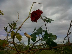 Rose at Moonstone Farm