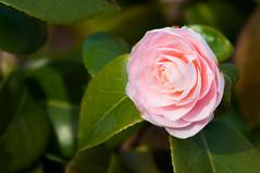 flower, leaf, plant, macro photography, flora, camellia japonica, theaceae, close-up, pink, petal,