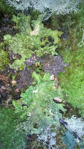 Freckle Pelt Lichen