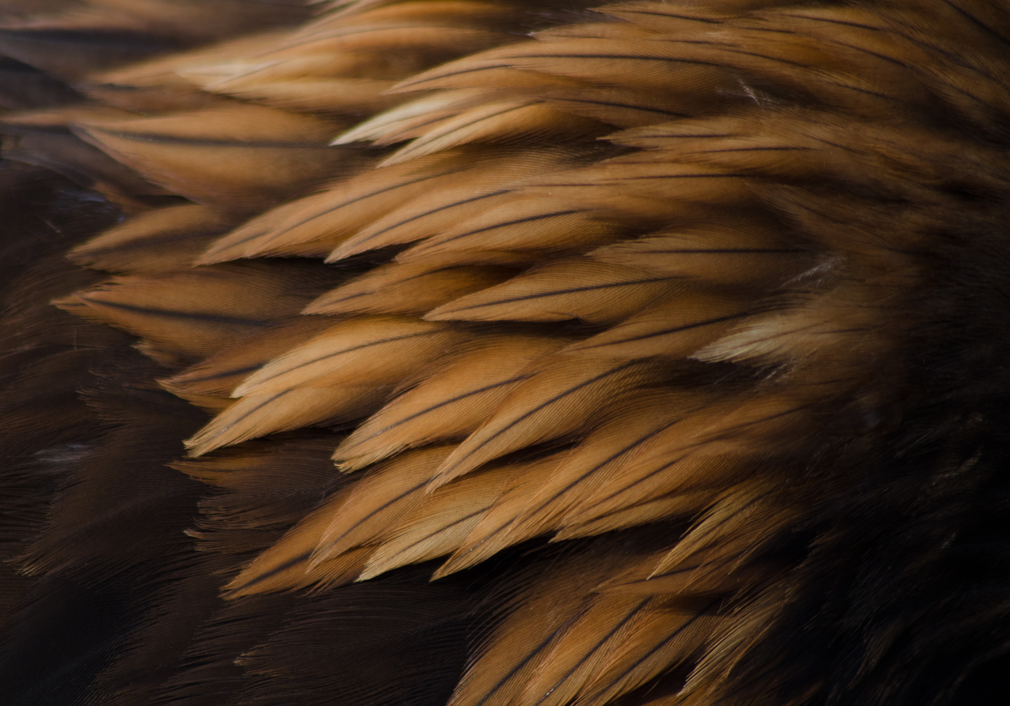 how to clean eagle feathers