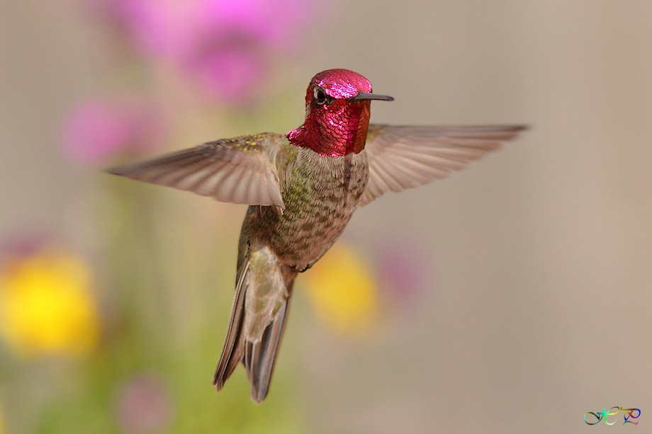 Anna's Hummingbird 021712