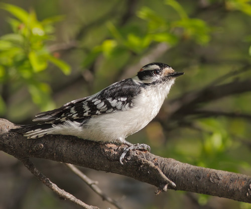 wild bird nature animal closeup fauna bill downywoodpecker picoidespubescens michigan wildlife beak feather perch ornithology birdwatching avian maledownywoodpecker
