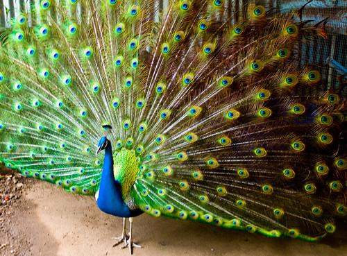 Peacock, Ilses du Salut, French Guiana