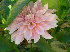 annual plant, dahlia, flower, plant, flora, petal,