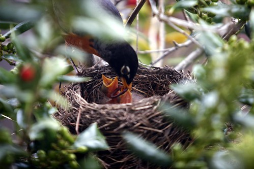 baby robin birds are hungry, baby birds, birds, hatching, robin birds, chicks, robin chicks, nest, parent, feeding, beak, hungry, worms, worm, robins nest, tree, nature, fecal sac, poop sac