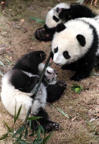 Three Pandas, One Bamboo