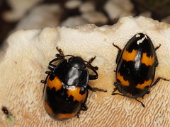 Pleasing Fungus Beetles