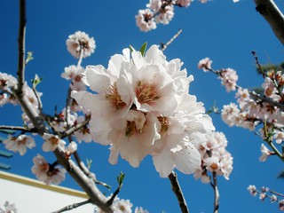 97# Blossoming almond tree!!
