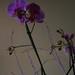 2012-03 orkideak-22
