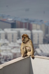 011. Barbary Ape. Top of Rock Cable Car.  March 2012