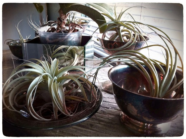 Airplants in tarnished silver vessels