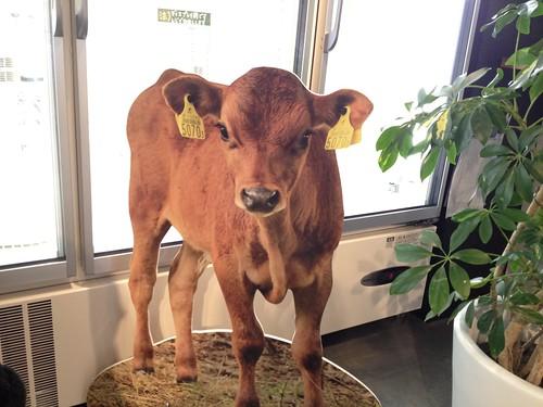 店内には牛さんのパネルが。この子かわいい!@中洞牧場ミルクカフェ 乃木坂