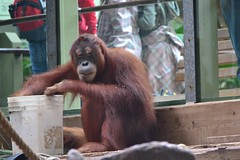 chimpanzee(1.0), animal(1.0), monkey(1.0), zoo(1.0), orangutan(1.0), mammal(1.0), great ape(1.0), fauna(1.0), common chimpanzee(1.0), ape(1.0),