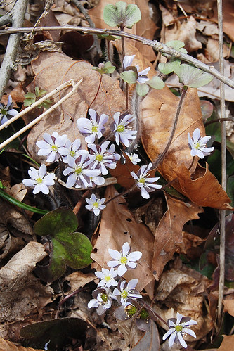 Picture of Roundlobe Hepatica, Hepatica americana, a slightly blue wildflower that grows in the Ozarks.