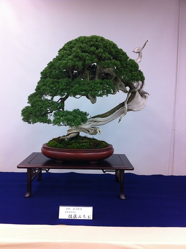 Seta bonsai