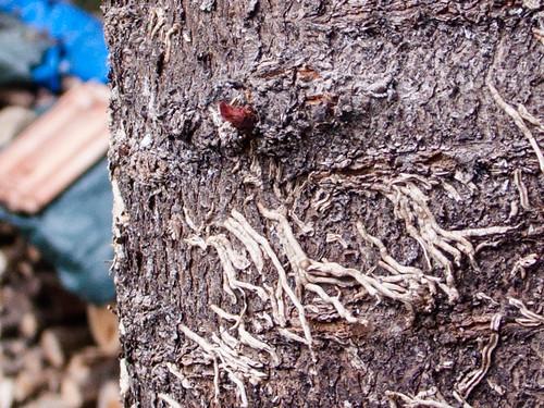 A cut cherry tree (detail)