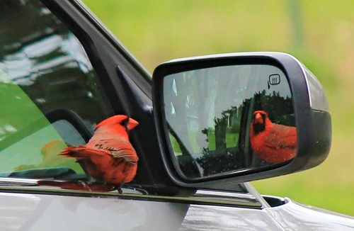 Male Cardinal and The Mirror...(Explored)